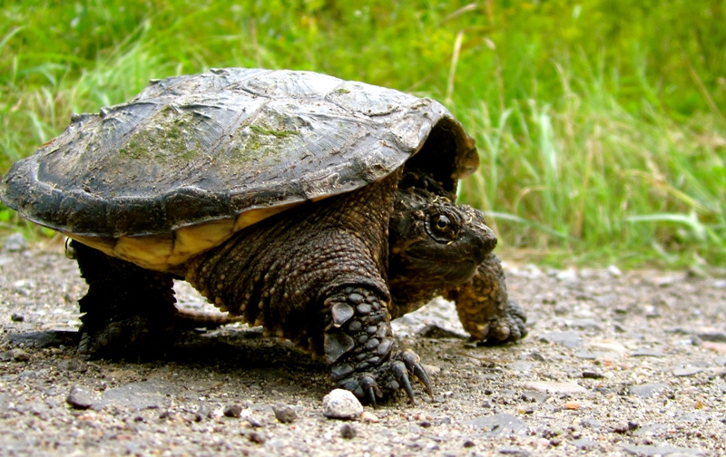 Snapping Turtle on a Road Shoulder