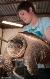 volunteer and snapping turtle