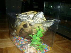 a turtle that has outgrown its tank