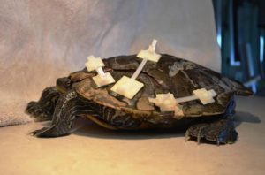 Northern Map Turtle with repaired shell