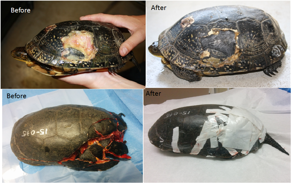 The Turtle Hospital – Ontario Turtle Conservation Centre
