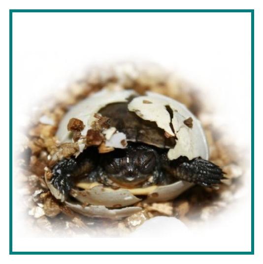 Hatchling emerging from egg