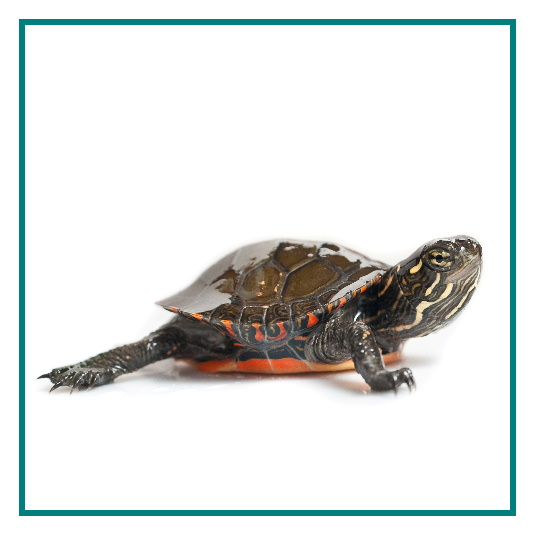 Painted turtle hatchling
